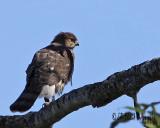 Kestrel or Merlin....no Cooper's Hawk