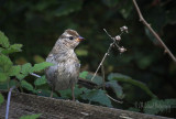 Immature Golden Crowned Sparrow