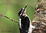 Downy or Hairy Woodpecker