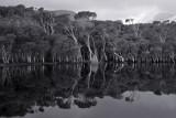 Tidal River tea-tree