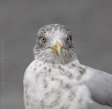 Goéland Argenté / Herring Gull
