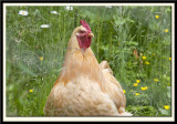 Chicken on a Bed of Wild Flowers...............mmmmmmm