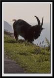 Goat contre-jour