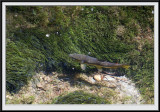 A fish in the River Lyd