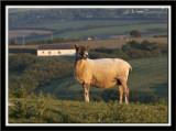 Shorn sheep in the evening sun.