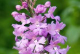 Purple Fringed Orchid 2