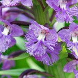 Small Purple Fringed Orchid 2