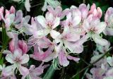 Pink Shell Azalea 2