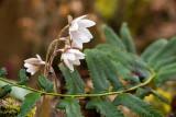 Sharp-lobed Hepatica 6