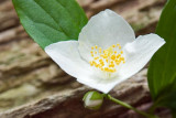 Scentless Mock Orange 2