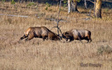 0001-Elk-Fight.jpg
