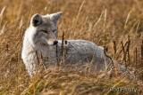 0001-Coyote-01.jpg