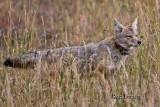 0001-Coyote-05.jpg
