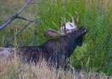 0001-Moose-02.jpg