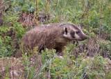 0037-Badger.jpg