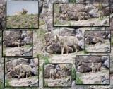 0054-Coyotes.jpg