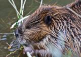 0058-Beaver.jpg