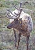 0073-Elk.jpg