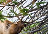 Elk-003.jpg