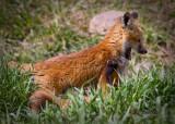 0021-Fox.jpg