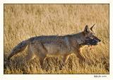 Coyote_P9E6600.jpg