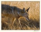 Coyote_P9E6618.jpg