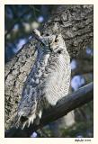 Great Horned Owl 587S9418.jpg