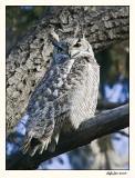 Great Horned Owl 587S9434.jpg
