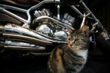 Cat Harley