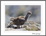 White-tailed Ptarmigan Chick
