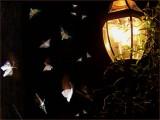 Night Moths