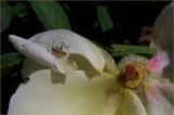 Rose Crawler