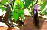 Eggplant Noon