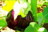 Eggplant Black Beauty 2