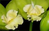 Hawaiian Passion 'Carmela'