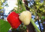 Garden Berries