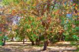 Oaks of Late Summer
