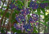 Fatsia Berries