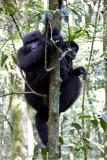 Bwindi Mountain Gorilla-616.jpg