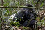 Bwindi Mountain Gorilla-717.jpg