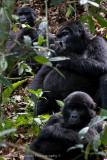 Bwindi Mountain Gorilla-722.jpg