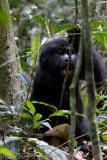 Bwindi Mountain Gorilla-742.jpg