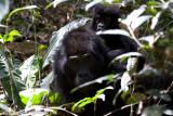 Bwindi Mountain Gorilla-753.jpg