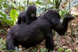 Bwindi Mountain Gorilla-776.jpg