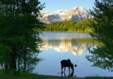 single moose drinking.jpg