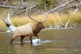 The herd bull.JPG
