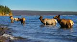 Elk family in lake