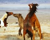 Sparring Bachelor Stallions.jpg