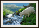 Baby Mountain goat crossing