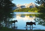 Wading moose.
